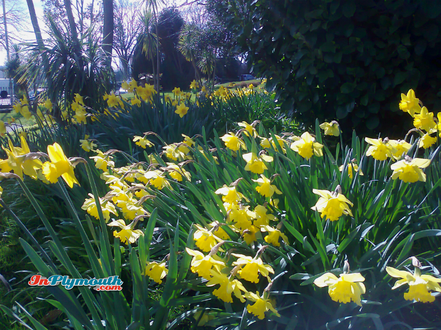 Daffodils in Devonport Park March 2015